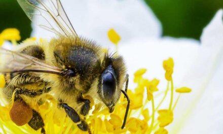 ONU: «Dependemos de la supervivencia de las abejas»