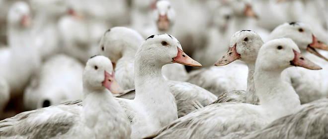 """Preocupación en Francia: """"Aumento galopante"""" de gripe aviar obliga a sacrificar a 600.000 patos"""